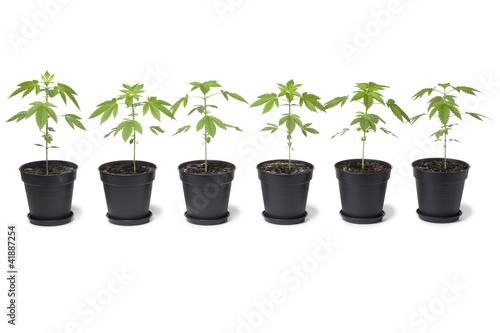 Row of Marijuana plants in plastic pot