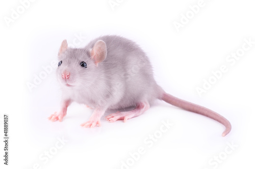 Baby rat (1 month old)