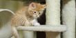 Gattino siberiano gioca sul tiragraffi