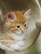 Gattino rosso in una nicchia del tiragraffi