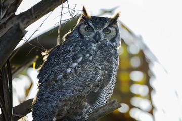 bubo virginianus, great horned owl