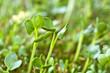 Jeunes pousses de radis