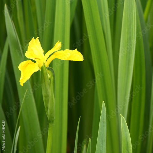 yellow iris on green background