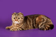 Scottish fold on violet background