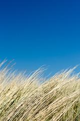 Dünengras vor blauem Himmel