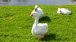 white  geese are grazed on a green lawn near the lake