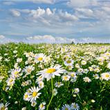 Fototapeta mak - jaskier - Kwiat