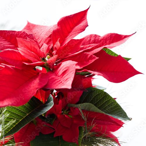 Fototapeten,weihnachten,poinsettia,blume,pflanze
