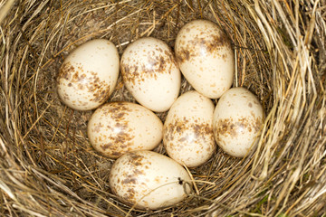 a nest with 7 eggs of red- backed shrike ( Lanius collurio)