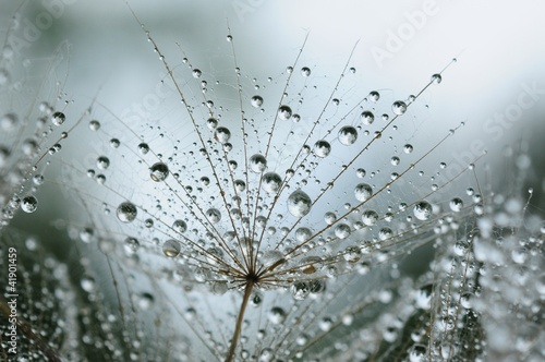 Tuinposter Paardebloemen en water dandelion seeds with drops