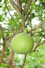 Fresh Pomelo  is on the tree