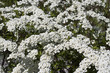 White flower bush in bloom.
