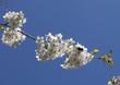Branch of flowering cherry across the blue sky.