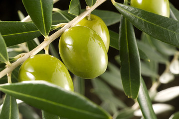 Olives in branch_02