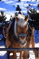 cavallo di montagna