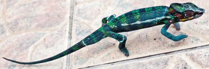 caméléon chamaeleo pardalis, île de la Réunion
