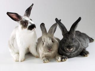 cría de tres conejos.