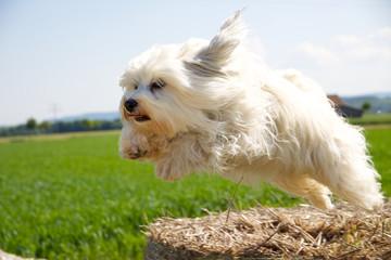 Hund beim Sprung