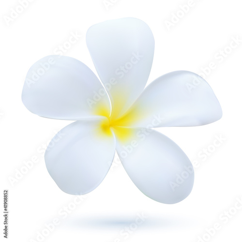 Hawaii flower Frangipani, white tropical Plumeria