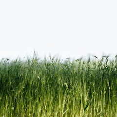 green wheat field detail