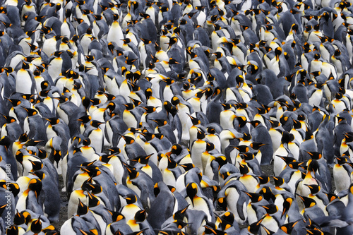 Poster Pinguin King penguin colony.