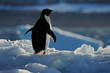 Adelie Penguin standing on ice with back light.