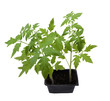 tomato plant ready to plant in the garden, isolated