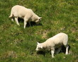 two grazing lambs