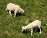two grazing lambs
