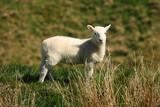watchful little lamb