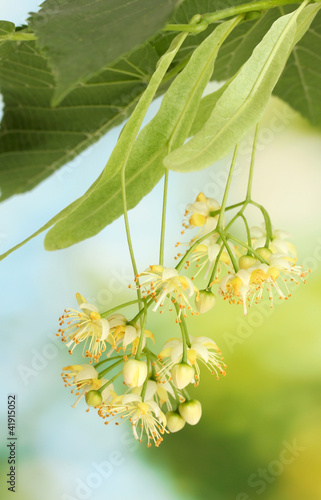 Branch of linden flowers in garden
