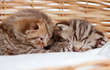 two sleeping small kittens in wicker basket