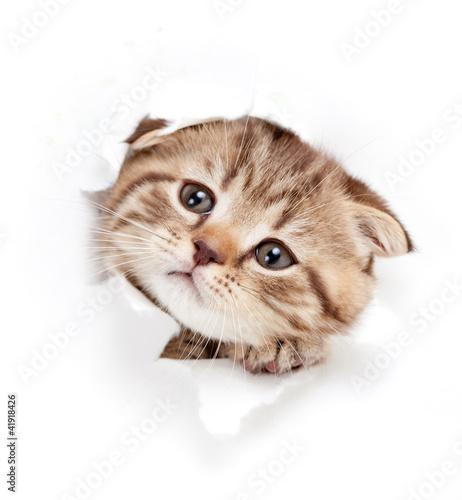 【掛け時計】つぶらな瞳でのぞくキジトラの子猫
