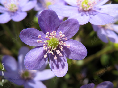 Hepatica, a family of Ranunculaceae