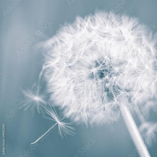 Dandelion - 41923405