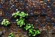 Virginia creeper on a brick wall
