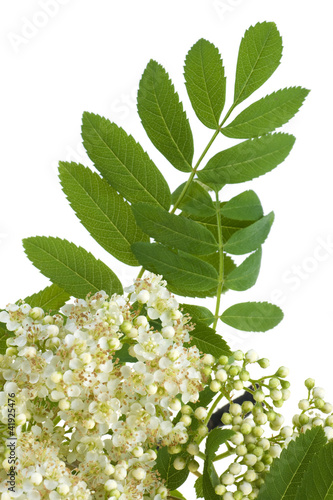 rowan white flowers