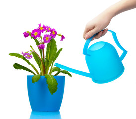 Purple primrose in flowerpot and watering can isolated