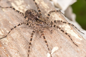 Wolf spider, extreme magnification