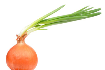Onion Bulb with Green Sprouts on White Background