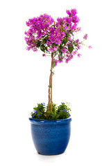Detail Bougainvillea in blue pot