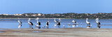 panorama with pelicans inside the sea