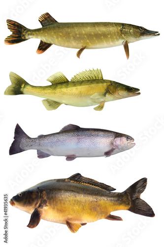 Fische 145