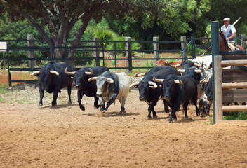 herd of spanish figthing bulls