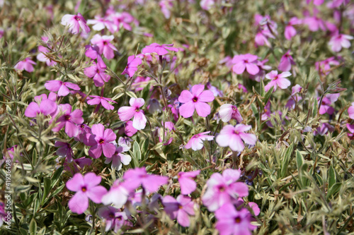 Pink mountain phlox