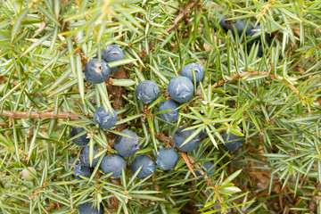 Juniper fruit