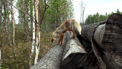 Wild red fox in spring forest