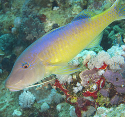 Closeup of yellowsaddle goatfish