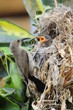 Female Sunbird feeding her newborn chicks in nest