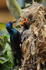 Male Sunbird feeding his newborn chicks in nest
